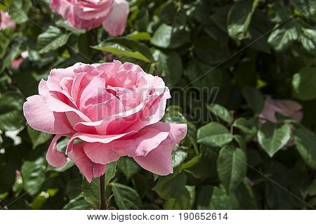 Rose paintings, color-colored roses, pink roses in the garden
