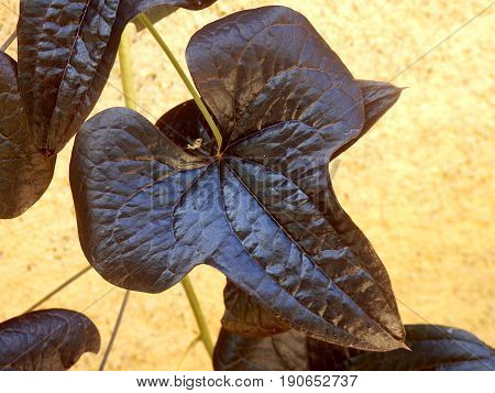 Close up of the leaves of the Ornamental Sweet Potato Vive (ipomoea batatas) set against a stone wall.