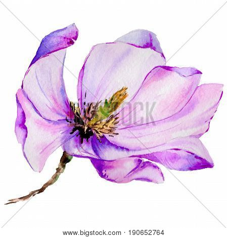 Wildflower magnolia flower in a watercolor style isolated. Aquarelle wild flower for background, texture, wrapper pattern, frame or border.