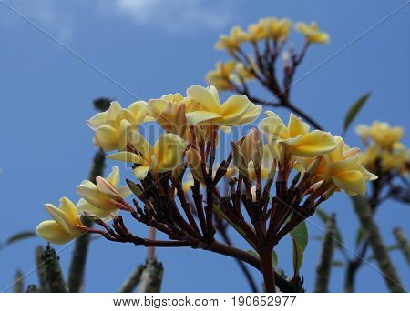 branches of yellow plumeria flowers Plumeria, the national flower of the island of Saipan in the Northern Mariana Islands is used to make leis, garlands or adorn establishments. It grows all year round.