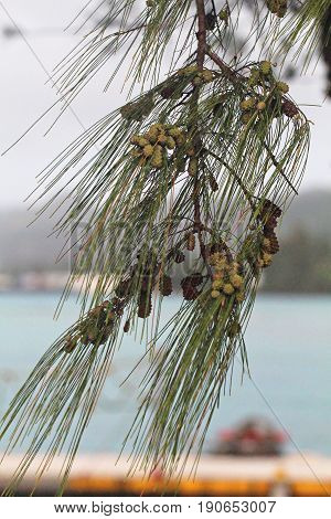 branch of pine leaves with pine cones  A hanging branch of pine tree leaves with fresh green and dry pine cones
