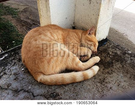 Orange cat sleeping on the cement ground outdoors An orange cat with long tail sleeping beside a cement pillar in a dirty floor