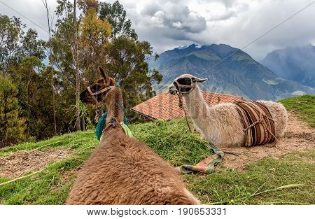 Alpaca (Vicugna pacos) in Cusco in Peru