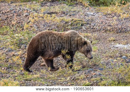 a grizzly bear in Denali national Park Alaska in early fall