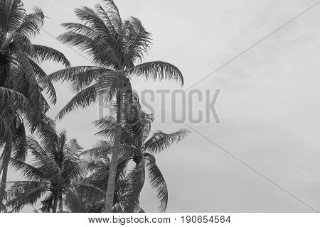 coconut tree beach strom monsoon windy black and white