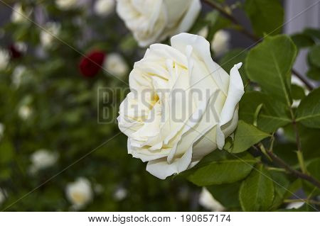 Rose paintings, color-colored roses, white roses in the garden