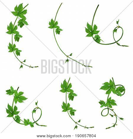 Set of green branches of young hop with leaves isolated on white background without shadow. Brewing. Ingredient. Herbal medicine. Close-up .