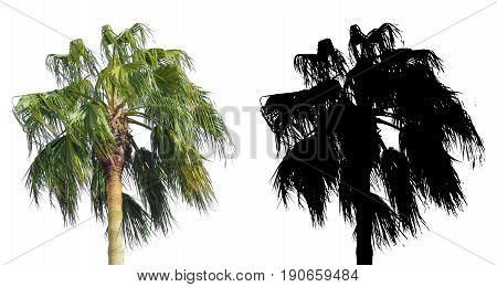 plam tree isolated on white background with alpha mask