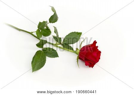 View of a single red rose on a white background