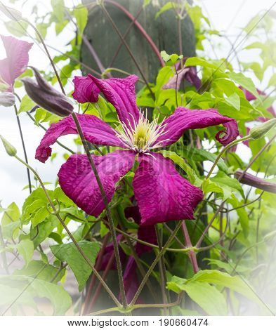 View of a Clematis climbing up a wooden post