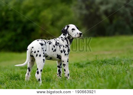 Adorable dalmatian dog outdoors in summer time