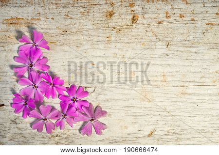 Corner Frame From Pink Shaggy Phlox With Copy Space For Your Text
