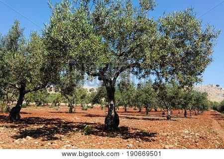 Olive trees in a row on plantation Sicily Italy