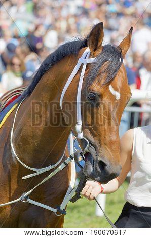 STOCKHOLM SWEDEN - JUNE 06 2017: Head of a brown arabian gallop race horse at Nationaldags Galoppen at Gardet. June 6 2017 in Stockholm Sweden