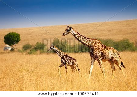 Female Masai giraffe with little calf walking together in the dry grass of Kenyan savannah, Africa