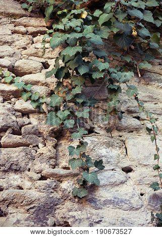 Creeping canadian ivy on old ancient grunge wall