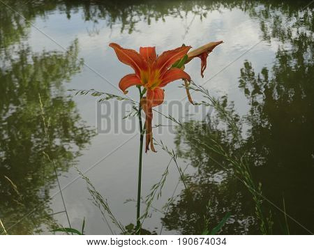 A tiger lily against a serene creek that reflects the trees around it.