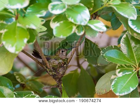 Hummingbird laying on its eggs in the nest surrounded by green leaves.