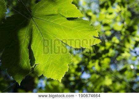 View on a Green Leaf. Sunlight is shining on a green Leaves.  Close-up of green Leaves. Morning Light in the Forest