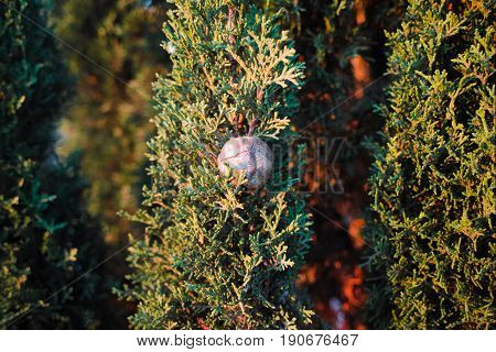 Cypress tree branch with cones. Evergreen trees.