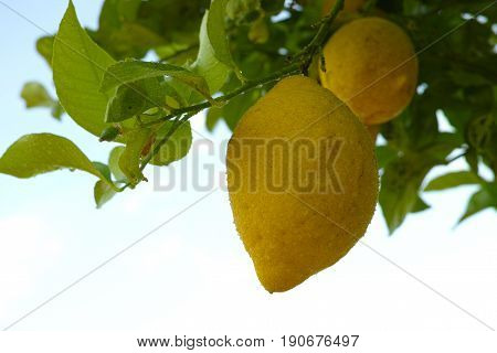 Ripe yellow Sicilian lemons on lemon trees lemon plantations ready to harvest copy space