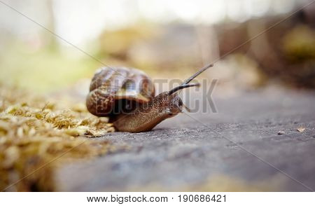 Curious brown snail crawling in the environment.