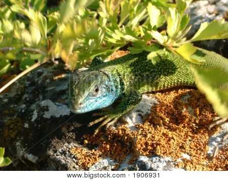 Predatory Lizard