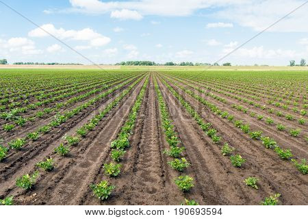 Large field with long converging rows of young celeriac plants on a sunny spring day. The field has been soaked by the recent rain showers.