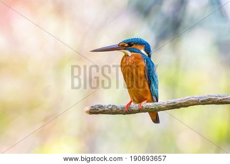 Bird (common Kingfisher, Alcedo Atthis) On A Tree