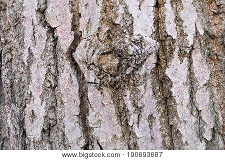 Tree Grey Bark With Wood Mote Closeup, Texture, Concept Design