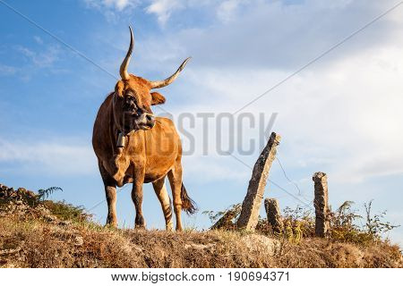 Bull on pasture, Portuguese mountain longhorn cattle, Exhibition bull in nature