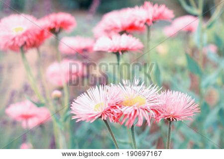 Astra flowers, nature background. Vintage style toned
