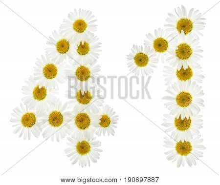 Arabic Numeral 41, Forty One, From White Flowers Of Chamomile, Isolated On White Background