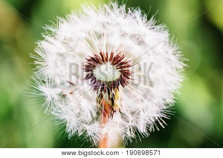Dandelion core and seeds close-up with shallow depth of field