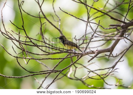 Bird (olive-backed Sunbird) On A Tree
