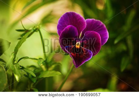 Flowering purple pansies in the garden as floral background in summer day. Selective focus on one flower
