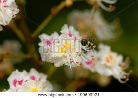 Flowers of a Horse chestnut tree (Aesculus hippocastanum)