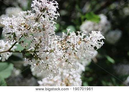 Light purple lilacs flowers bush sunny day