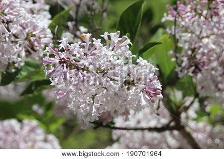 Light purple lilacs flowers summer bush sunny day
