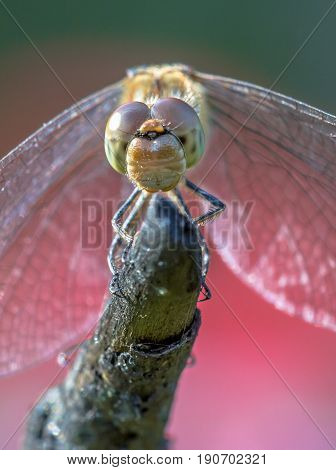 Frontal View Of Common Darter Dragonfly Perched On Stick