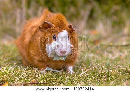 Guinea Pig Eating Leaf In Backyard