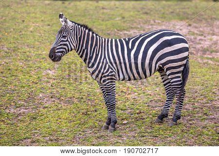 Maneless Zebra In Green Grass