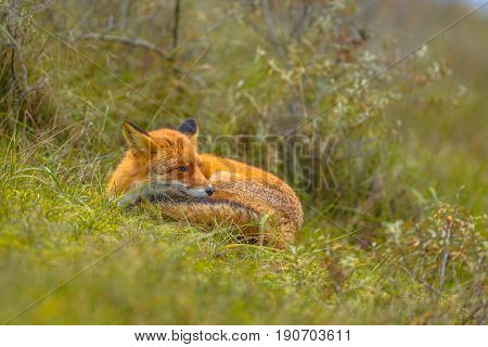 Resting European Red Fox