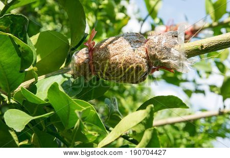 Grafting on tree branch, agricultural in Thailand