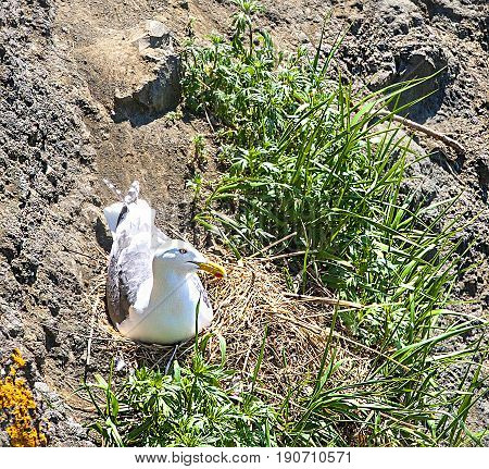 Seagull sitting on a nest on a rock hatching eggs