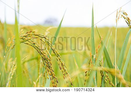 yellow rice in farm and white sky