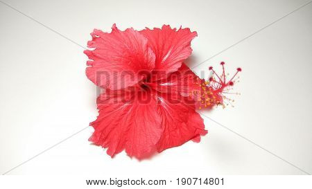 hibiscus flower close up element photo stock