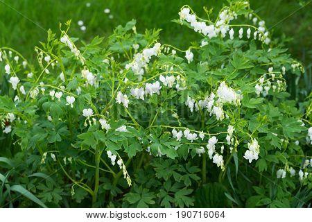 White bleeding heart flowers dicentra spectabilis in spring garden.