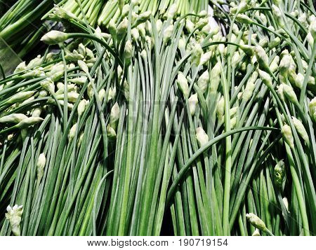 Vegetable and Herb Fresh Flowering Chinese Garlic Chives or Ku Chai in Supermarket or Grocery Shop.
