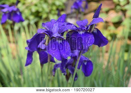 Pretty blooming purple Siberian iris flowers in a garden.
